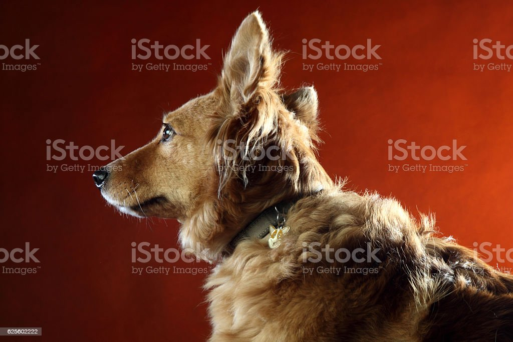 cane italiano 2491 stock photo