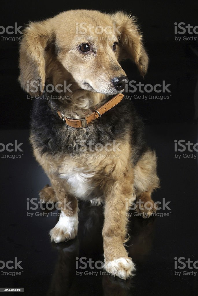 cane italiano 5974 royalty-free stock photo