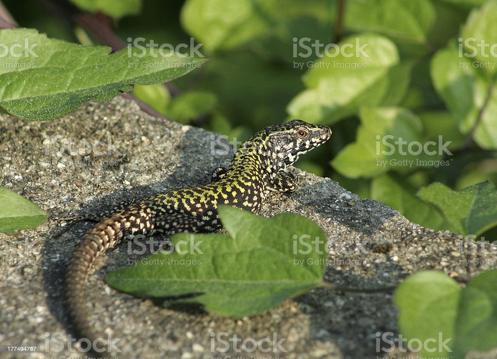 Italian Fence Lizard royalty-free stock photo