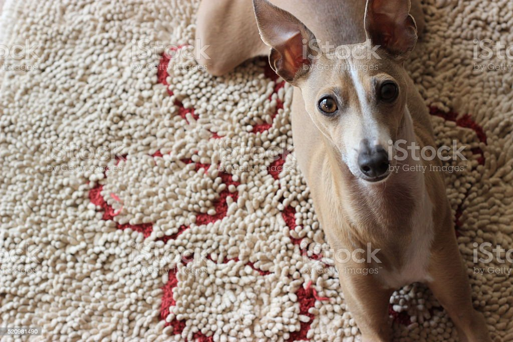 Italian Greyhound dog stock photo