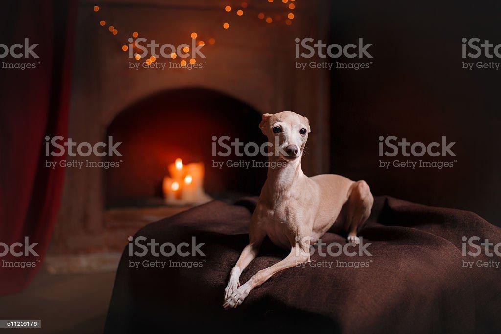 Italian Greyhound in interior stock photo