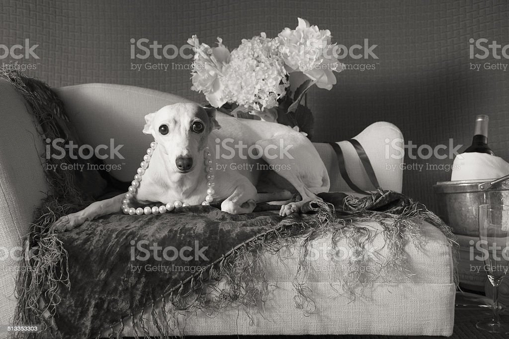 Italian Greyhound in Pearls with bulging eyes in black and white stock photo