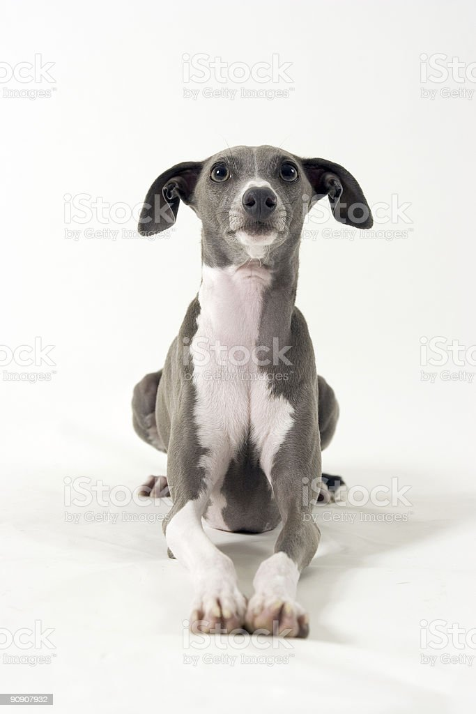 Italian Greyhound Lying Down stock photo