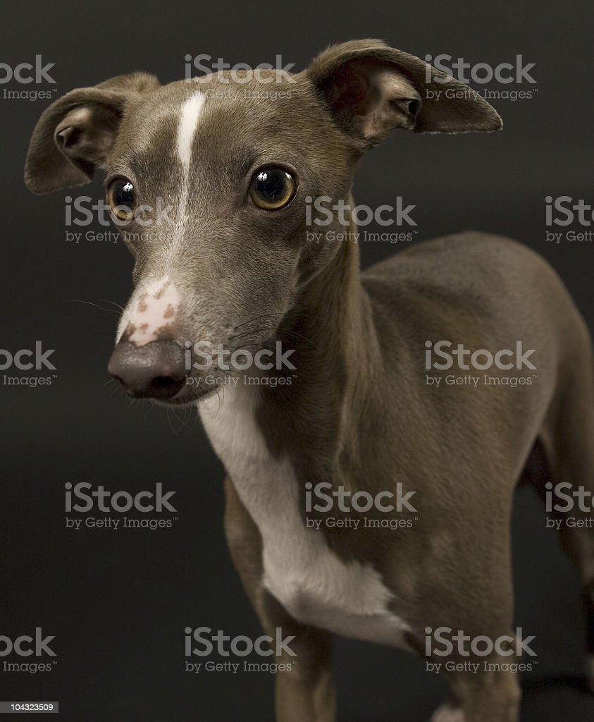 Italian Greyhound royalty-free stock photo