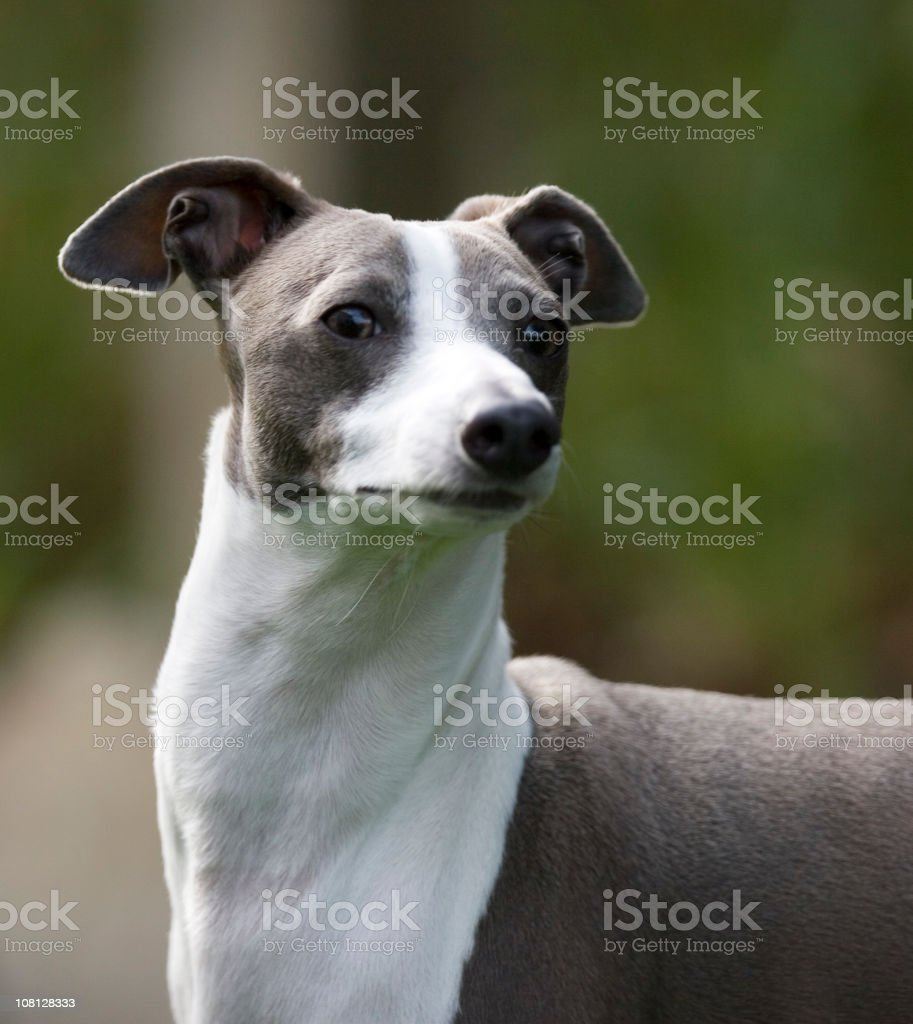 Italian Greyhound royalty-free stock photo