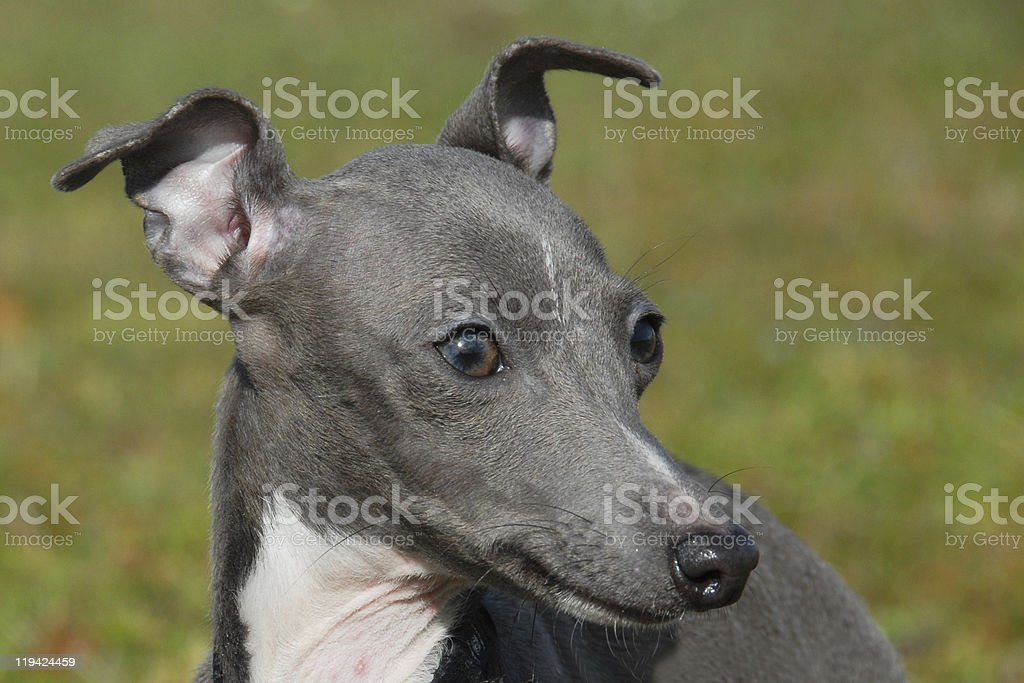 Italian greyhound stock photo