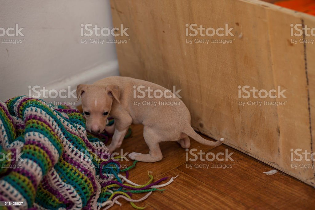 Italian Greyhound Puppie stock photo