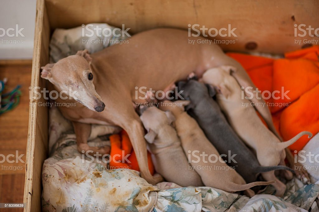 Italian Greyhound puppies and their mother stock photo