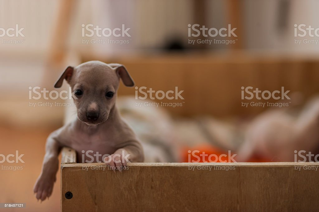 Italian Greyhound Puppies stock photo