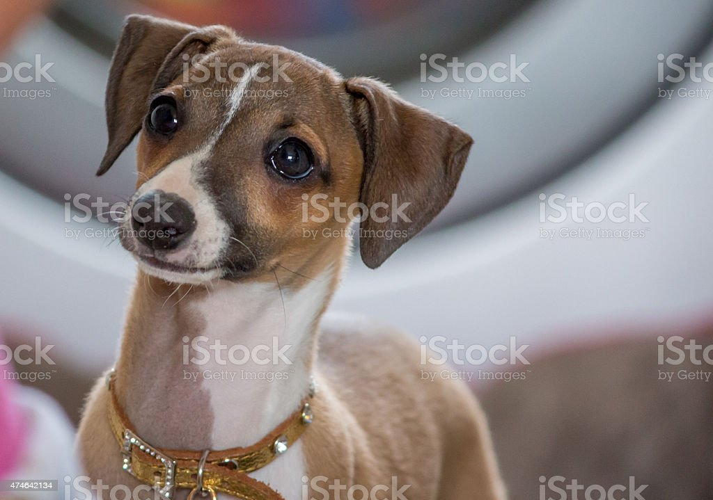 Italian Greyhound Puppy stock photo