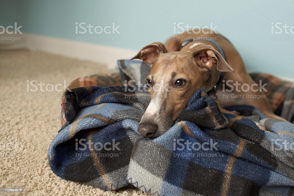 Italian greyhound relaxing on tartan blanket on floor stock photo