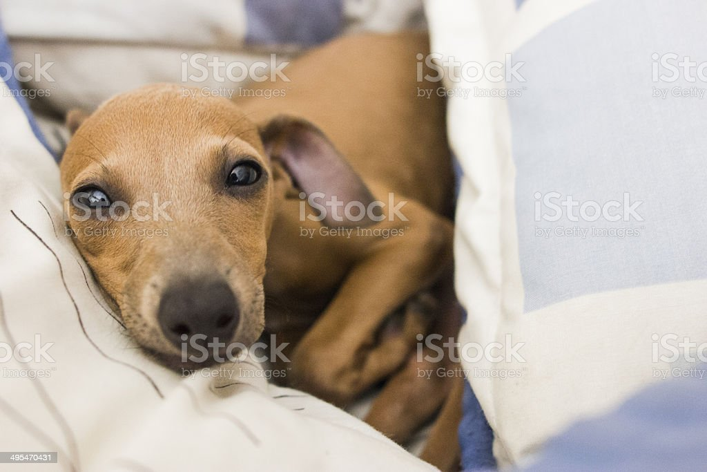 Italian greyhound relaxing stock photo