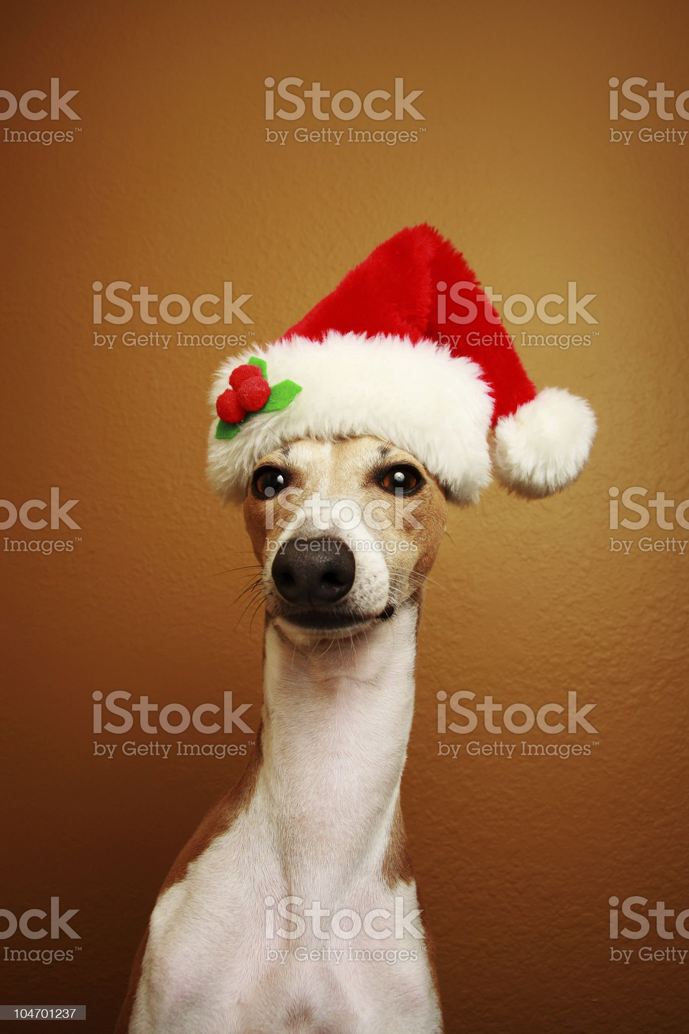 Italian Greyhound Santa Claus royalty-free stock photo