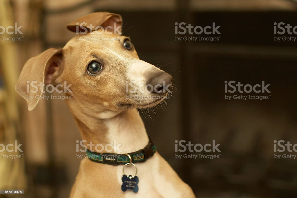 Italian Greyhound, staring at something in the background stock photo