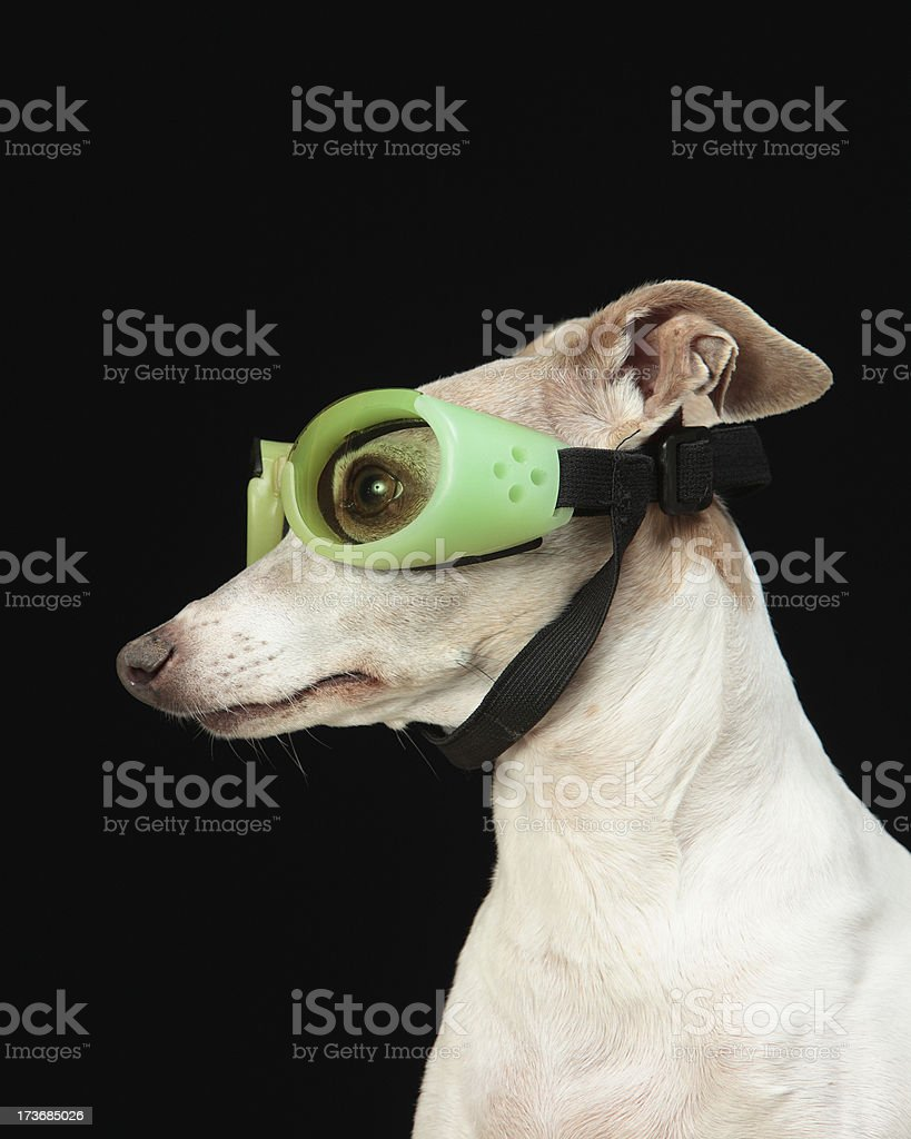 Italian Greyhound wearing goggles stock photo