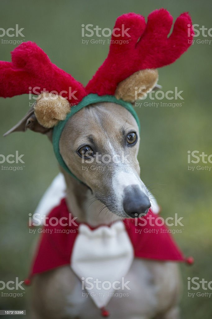 Italian greyhound with Antlers (reindeer) royalty-free stock photo