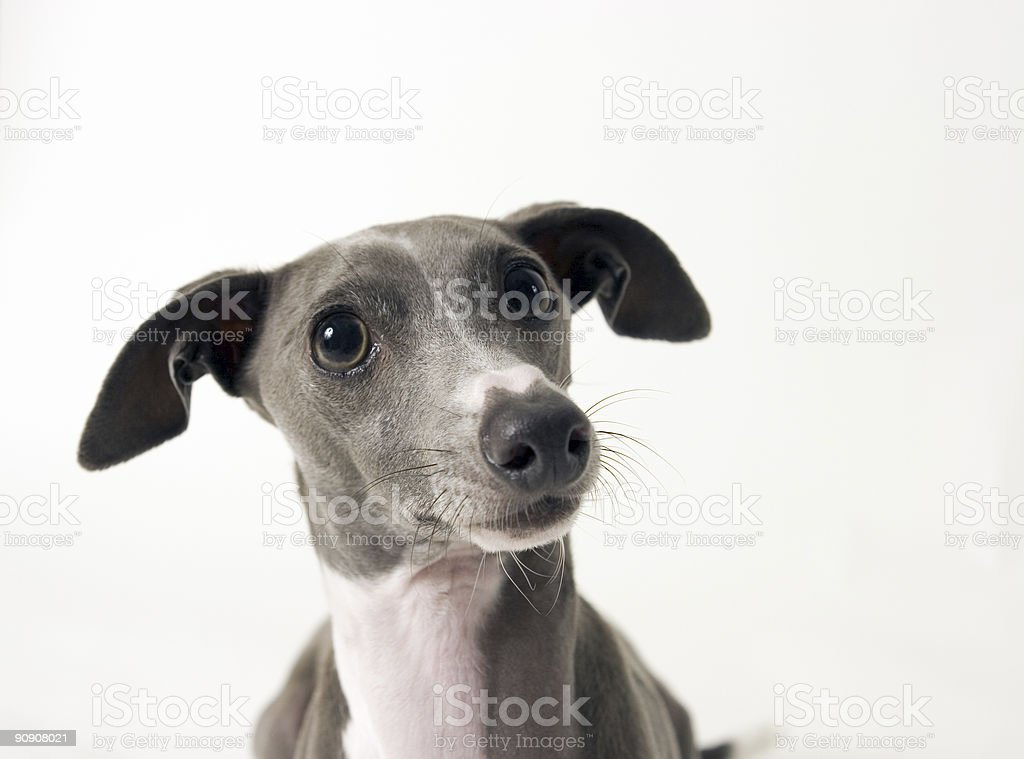Italian Greyound stock photo
