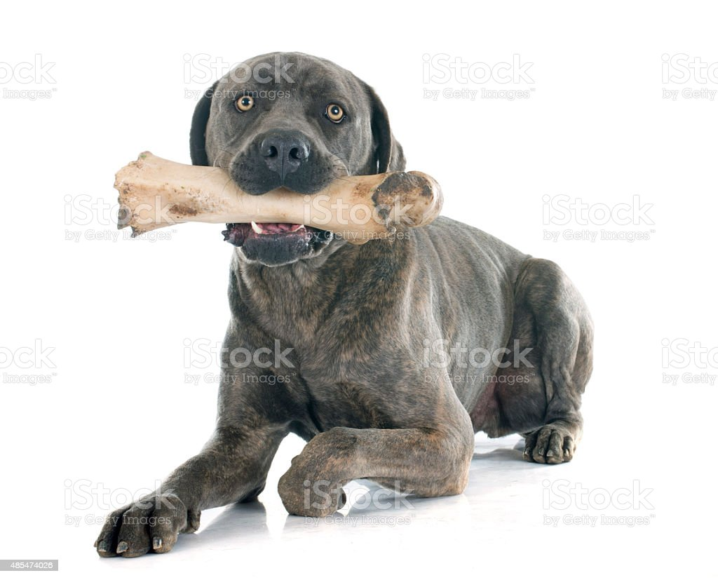 italian mastiff and bone stock photo