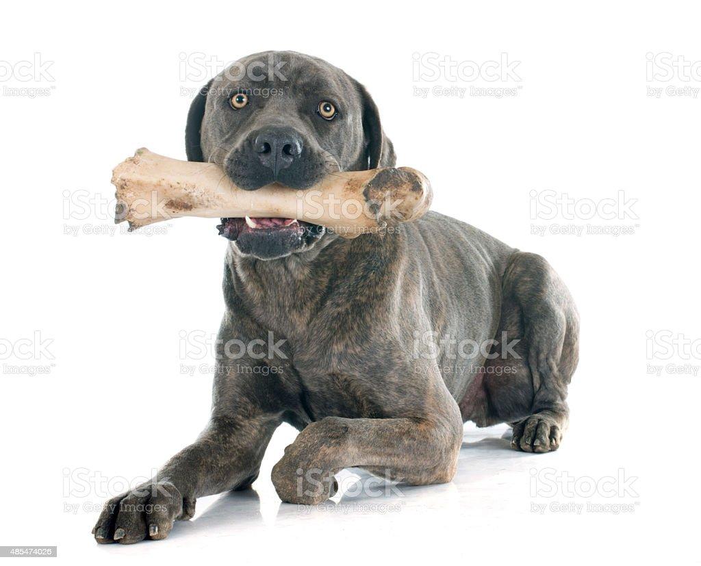 italian mastiff and bone stock photo