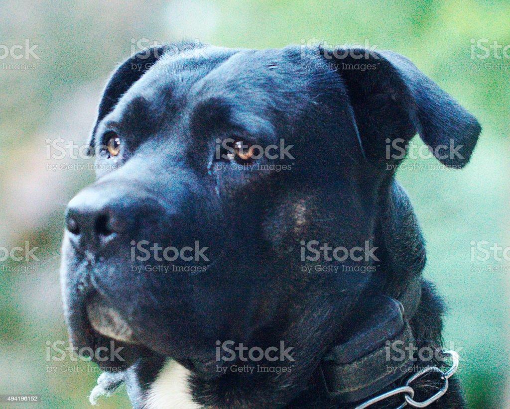 Italian Mastiff Dog stock photo