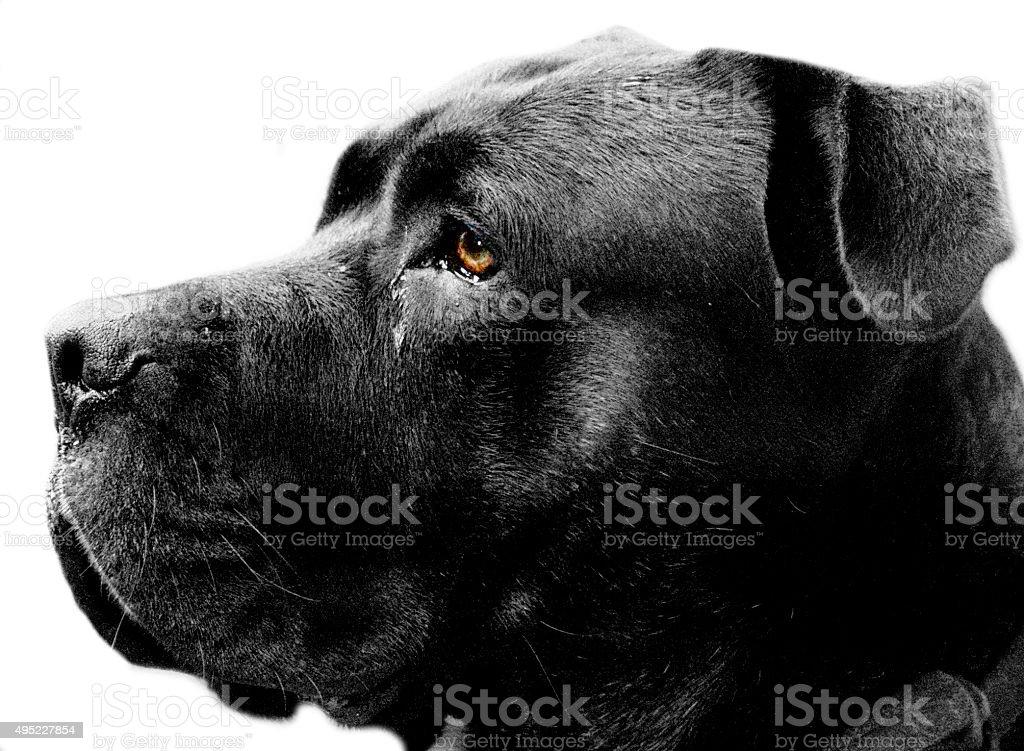 Italian Mastiff Isolated on White stock photo
