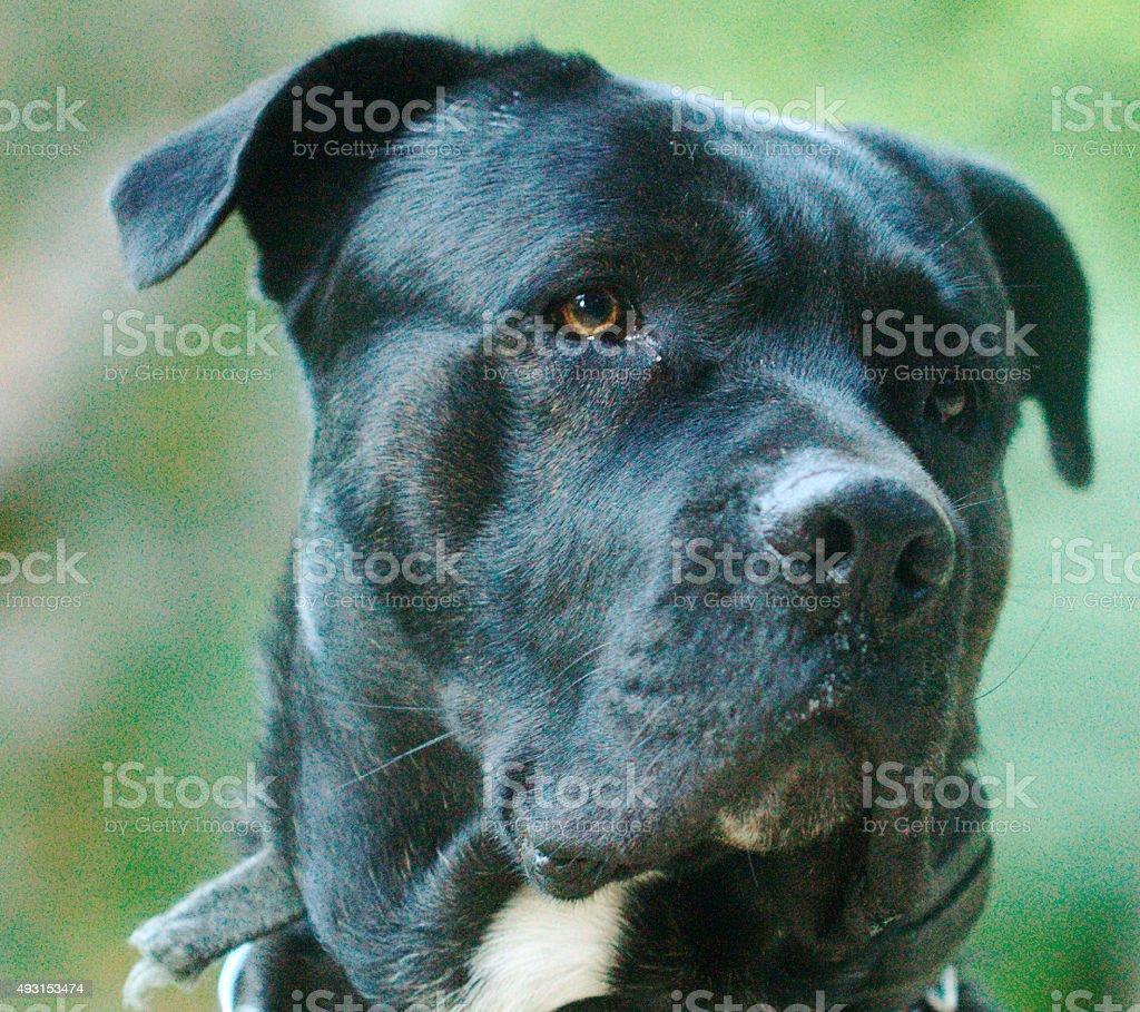 Italian Mastiff stock photo