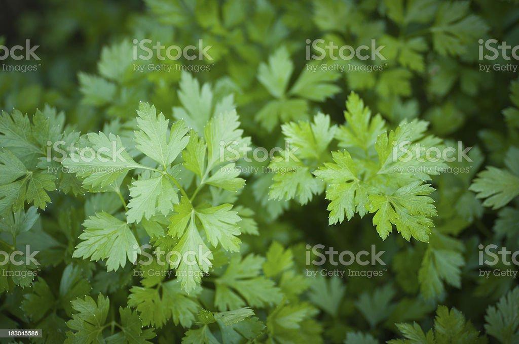 Italian parsley stock photo