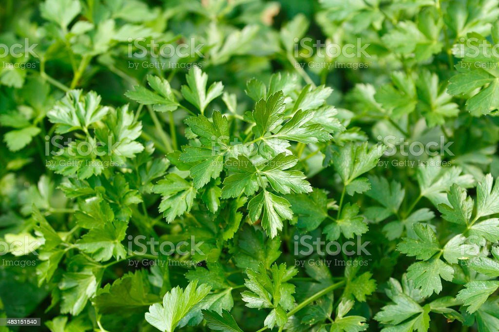 Italian parsley stock photo