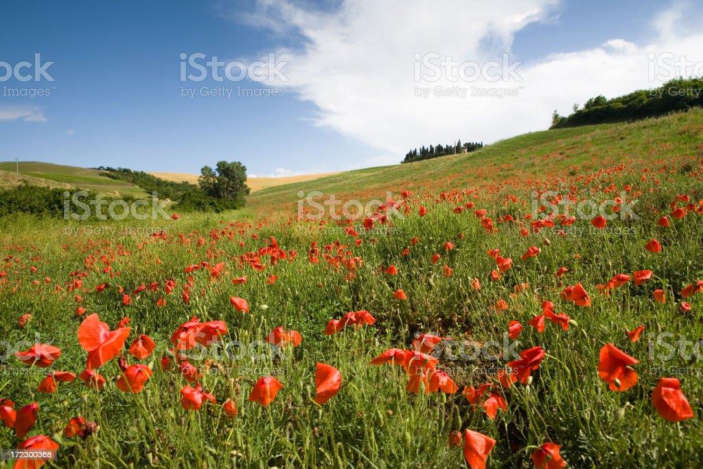italian poppy field II royalty-free stock photo