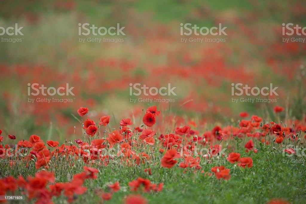 italian poppy field royalty-free stock photo