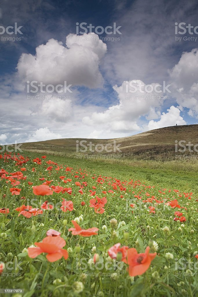 italian poppy III royalty-free stock photo