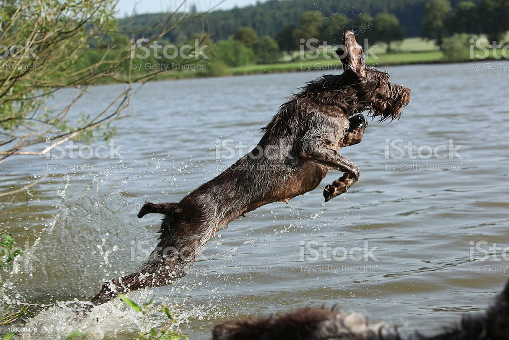 Spinone italiano stock photo