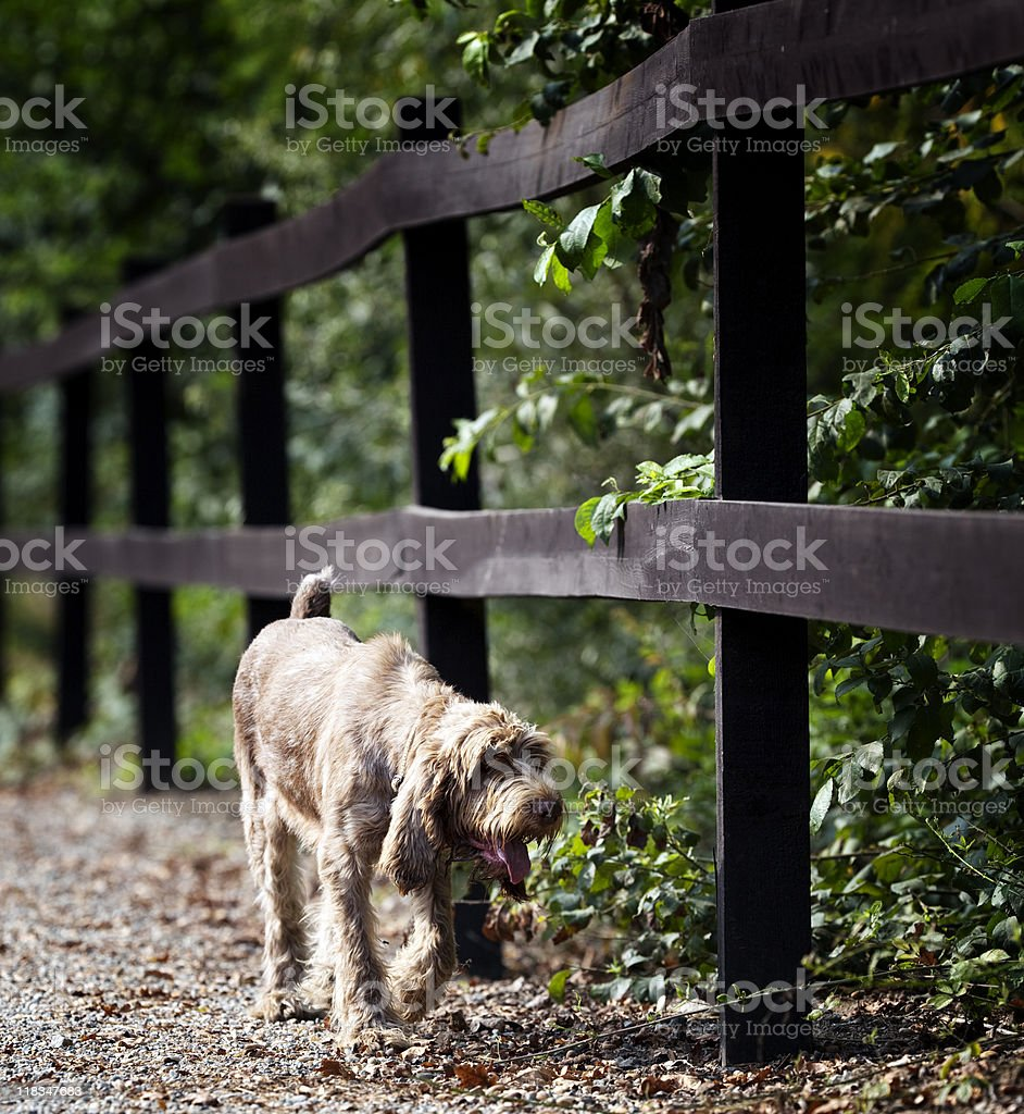 Italian Spinone. Color Image stock photo
