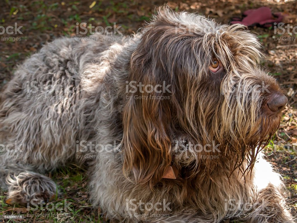 Italian Spinone dog stock photo