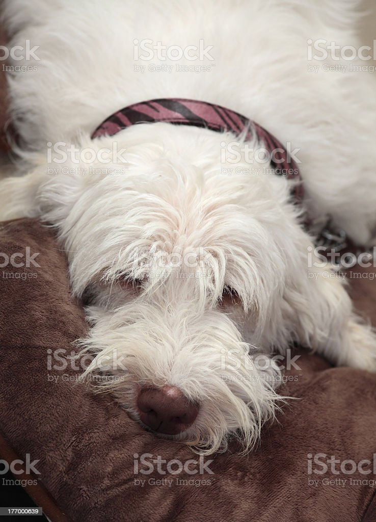 Italian spinone dog resting stock photo