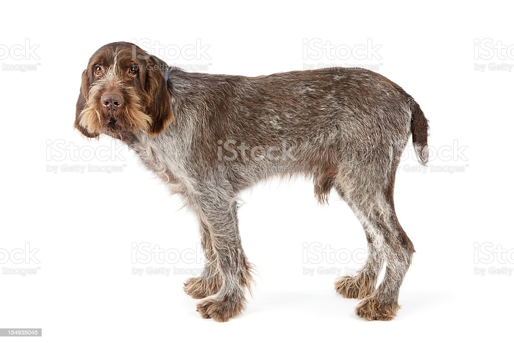 Italian Spinone pure bred dog stock photo