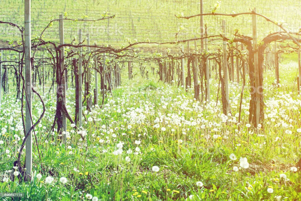 Italian spring vineyard with dandelions stock photo