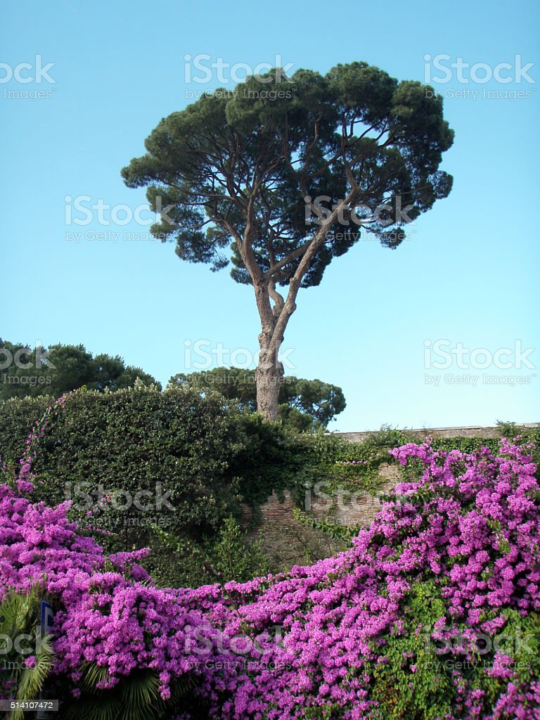 Italian stone pine and pink rambling flowers against blue sky stock photo