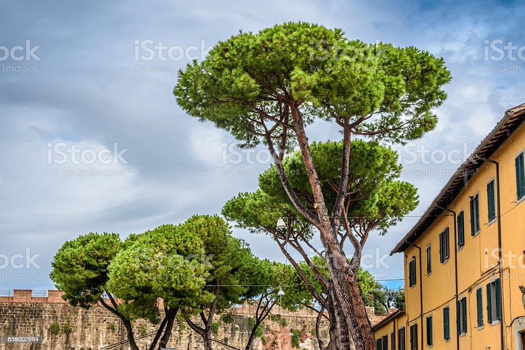 Italian stone pines. Old italian house. Pisa, Italy. stock photo