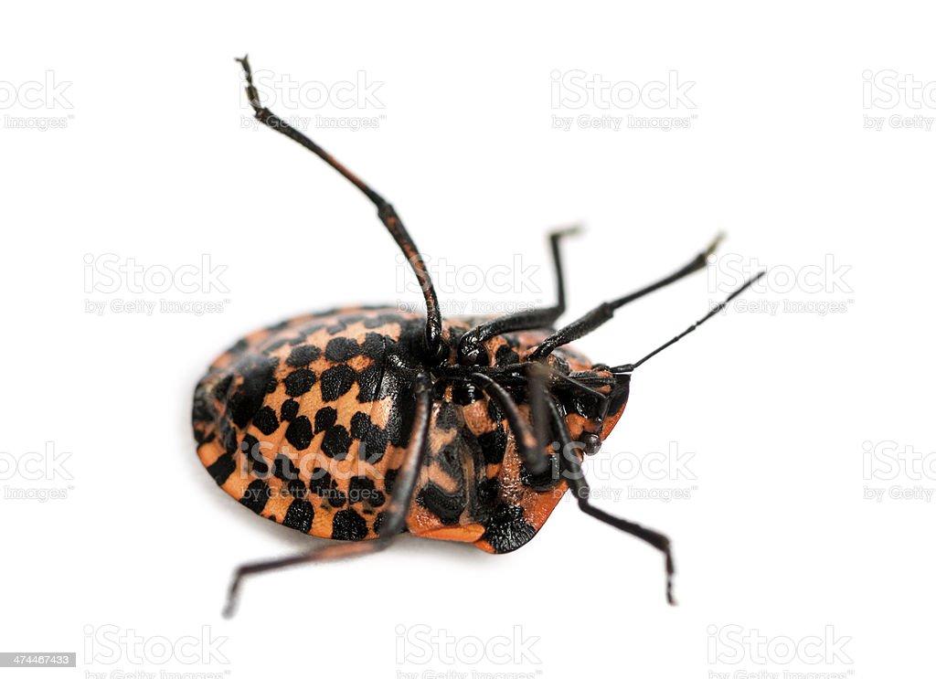 Italian Striped-Bug lying on the back, struggling stock photo