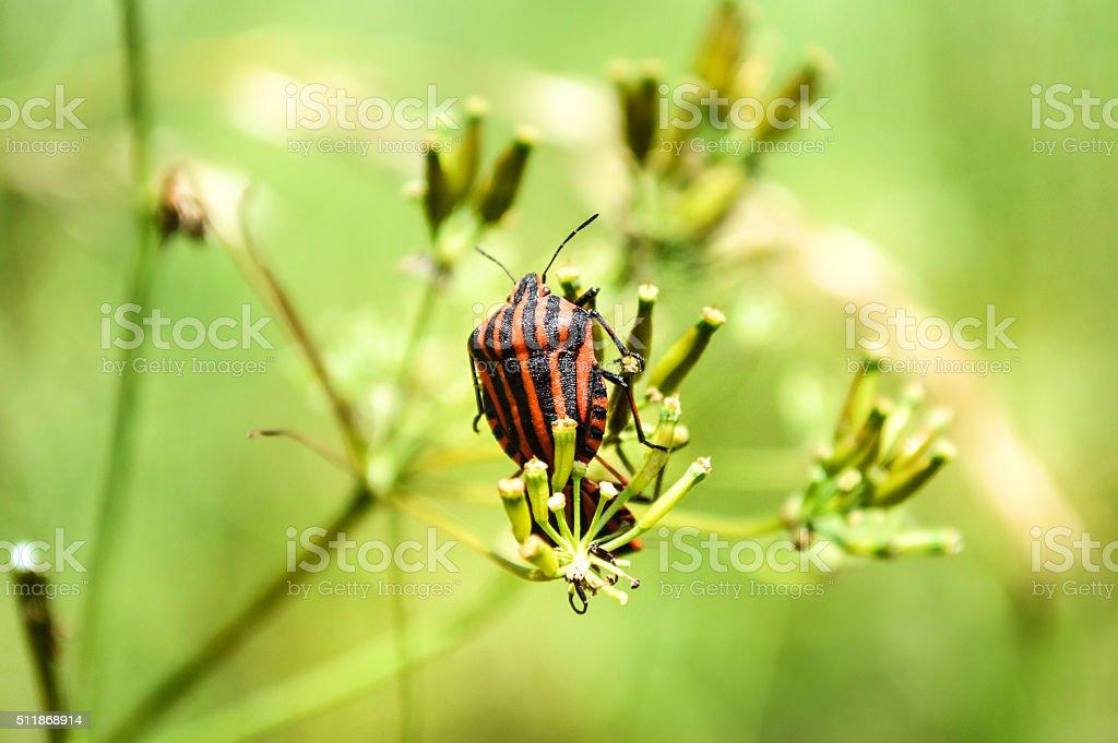 Italian Striped-Bug stock photo