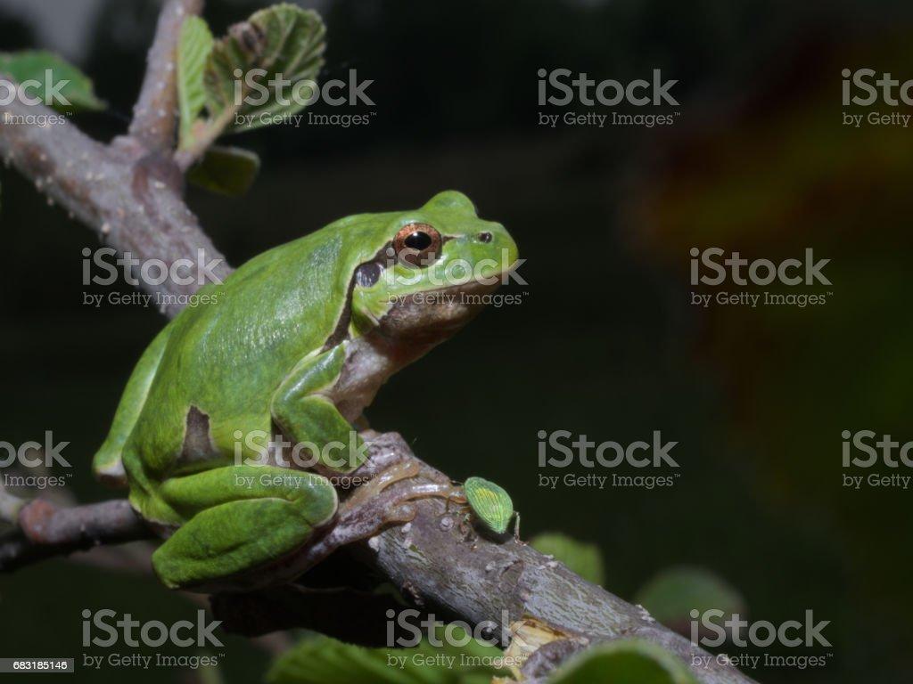 Italian tree frog (Hyla intermedia) stock photo