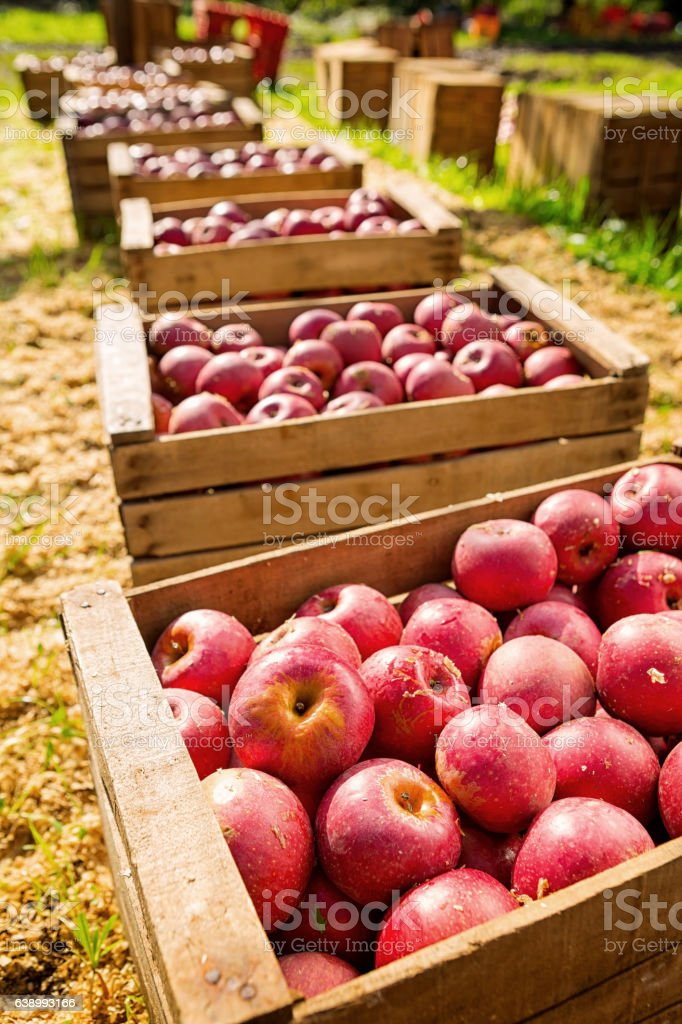 Italian typical apples in wooden box stock photo