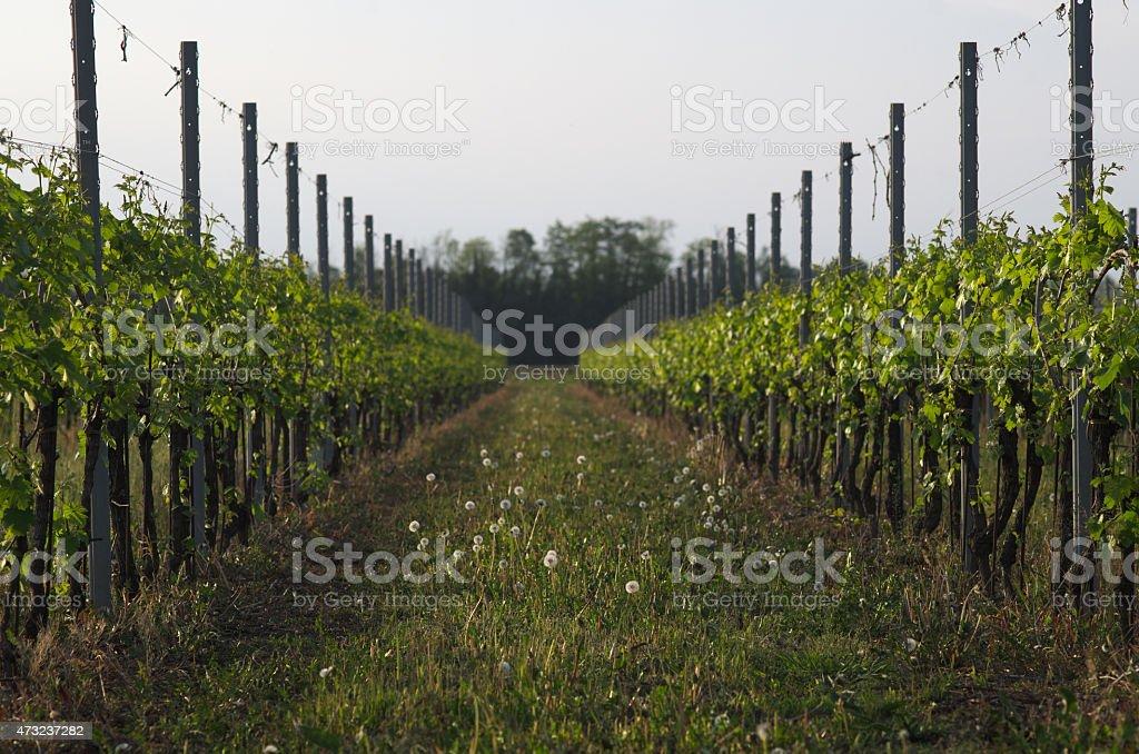 Italian vineyard in early spring, Italy, Friuli stock photo