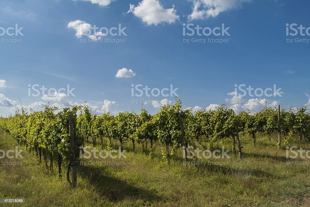 italian vineyard stock photo
