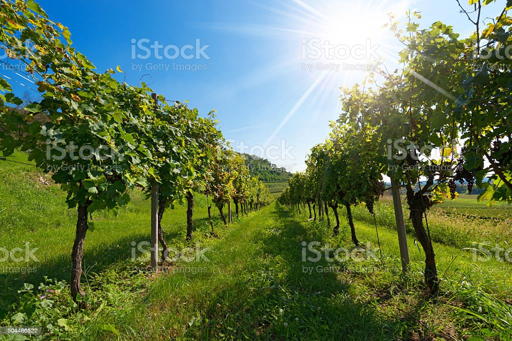 Italian Vineyards with Sun Rays stock photo