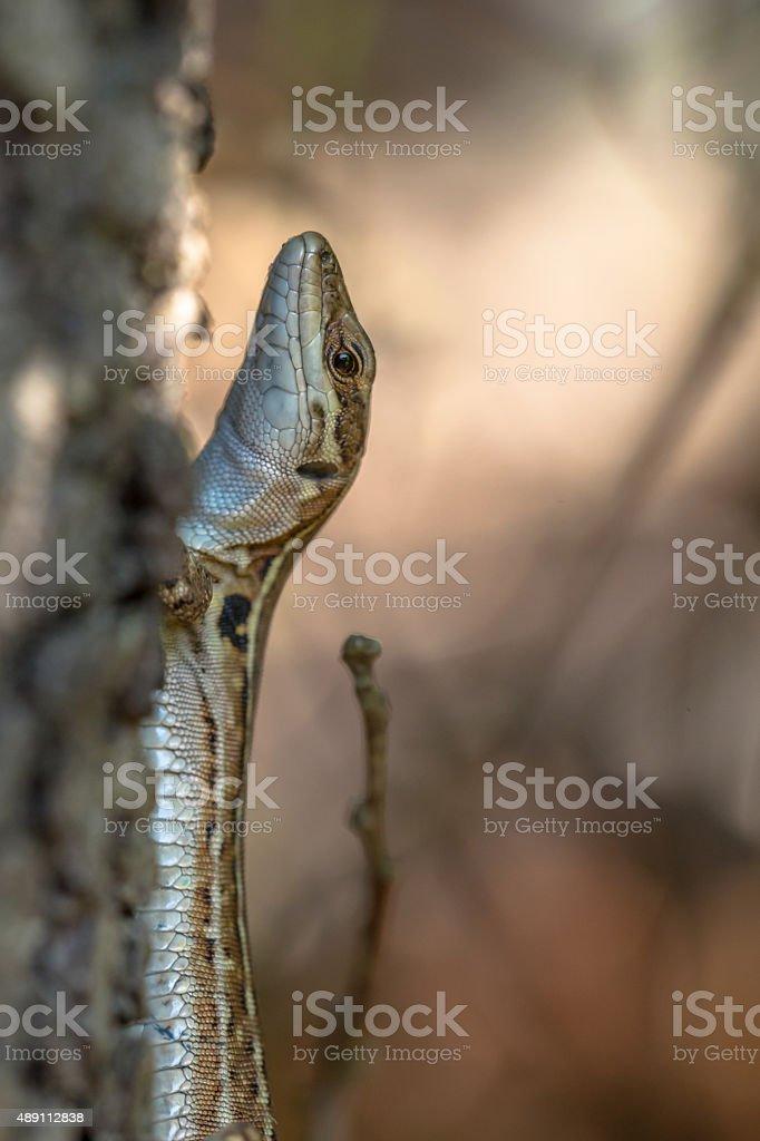 Italian Wall Lizard (Podarci siculus) in a tree stock photo