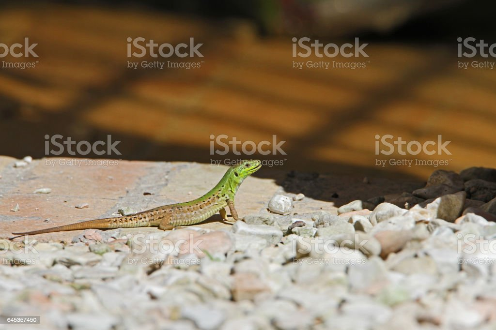 Italian Wall Lizard Latin name podarcis sicula muralis mouth a little open so almost smiling scuttling across a gravel path closeup in Italy stock photo