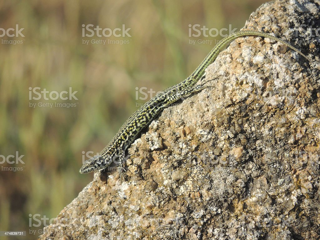 Italian Wall Lizard royalty-free stock photo