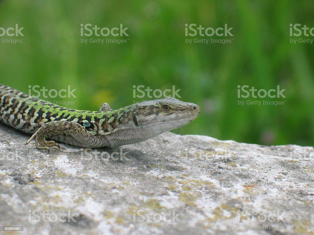 Italian wall lizard (podarcis sicula) stock photo